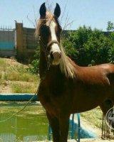 اسب اصیل خون خالص عرب ایرانی