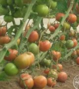 اقلام موجود از قبیل گوجه گلخانه جهت صادرات و روسيه