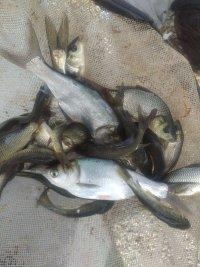 انواع ماهی قزل الا و کپور امور در هشتگرد