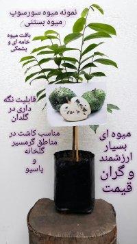 نهال میوه های کمیاب و استوایی در تهران
