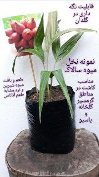 نهال میوه کمیاب و استوایی در فارس