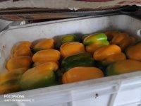 فروش فلفل دلمه اي سوپر صادراتي در باقرشهر