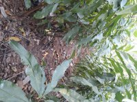 فروش نهال سیاه ریشه در ساری