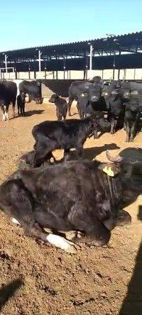 فروش گوساله گاومیش نرو ماده در دامغان