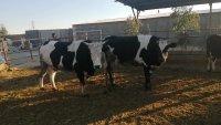 فروش فوری 44 راس گاو بومی در گرمسار