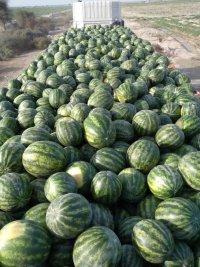 فروش هندوانه صادراتی تناژ بالا در چاه بهار