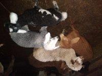 فروش گوسفند  دوقلوزا در بابل