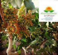 نهالستان بزرگ سیمین نهال سبز در میاندوآب