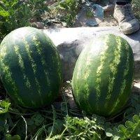فروش هندوانه درجه یک صادراتی در هشتبندی