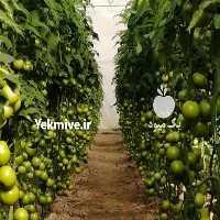 فروش بذر گوجه فرنگی و فلفل دلمه رنگی