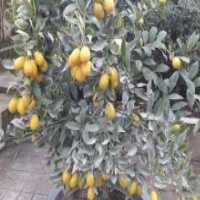 فروش درخت لیمو ترش پاکوتاه 4 فصل