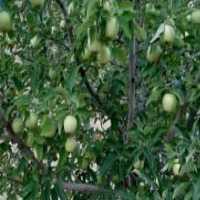 نیازمند باغ سیب درختی برای اجاره
