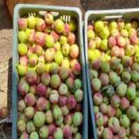 فروش شلیل شمس لواشکی در قزوین