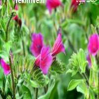 فروش گل گاوزبان ایرانی در گیلان