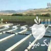 فروش ماهی غزل آلای سرد آبی در خرم آباد