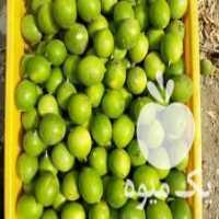 فروش لیمو ترش درجه یک در بندرعباس