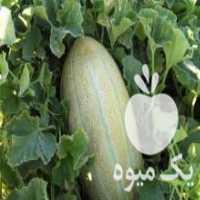 فروش خربزه شیرین و آبدار در سبزوار
