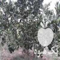 فروش درخت نارنگی زودرس ژاپنی در ساری
