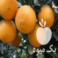 مرکبات نارنگی و تامسون شمارا با قیمت روزانه خریداریم در ساری