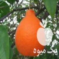فروش قلم نارنگی تانجلا یا تانجلو در ساری