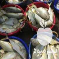 نیازمند سرمایه گذار خرید و فروش ماهی قزل آلا کپور در نیر