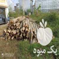 خرید انواع درخت صنوبر جنگلی و میوه و باغی   در رودسر