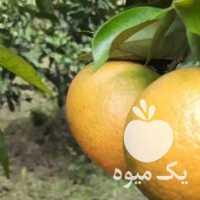 فروش نارنگی پیج ، یافا شهسوار کیوی درشت و ریز در تنکابن