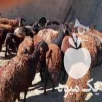 فروش اجاره و همکاری دامداری در اصفهان