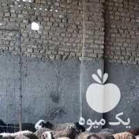 فروش ذبح دام  ،  گوسفند زنده بهداشتی  ،  قصاب  ،  گوسفند در تهران