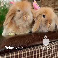 فروش دیگر حیوانات اهلی مینی لوپ در تهران