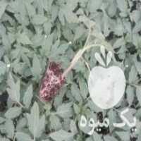 فروش نشا گوجه گلخانه ای نیوتن در تهران