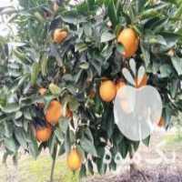 خرید و فروش پرتقال ،  تامسون و نارنگی با قیمت مناسب در ساری