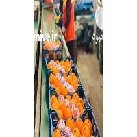فروش پرتقال تامسون در مازندران