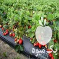 فروش بوته توت فرنگی خارجی پر محصول با بهترین قیمت در جویبار