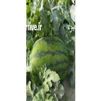 فروش هندوانه درجه یک در بندرعباس