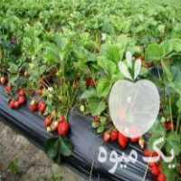 فروش بوته توت فرنگی خارجی پر محصول کاماراسو فرانسه در جویبار