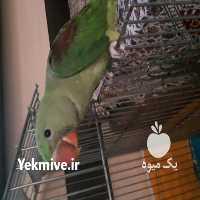 فروش پرندگان شاه در اصفهان