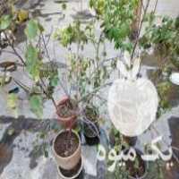 فروش چند درخت پرتقال ،  ابریشم و تعدادی گلدان در تهران