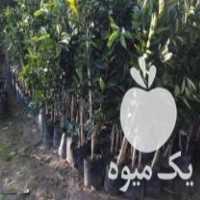 فروش ارائه درخت مرکبات پرتقال تامسون پیوندی گلدان زده در ساری