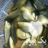 فروش بچه ماهی ارزان گرمابی همین جاست در اندیمشک