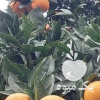 فروش پرتقال خونی و تامسون و کیوی هایوارد درشت در تنکابن