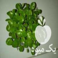 فروش سبزه نارنج عید به صورت عمده با کیفیت بالا و قیمت مناسب در ساری