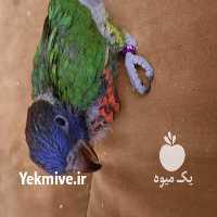 فروش پرندگان لوریکیت در تجریش