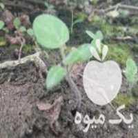 فروش بوته گیاه فیسالس وپاپایا در بابل