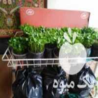فروش سبزه عید نارنج در قائم شهر