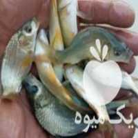 فروش پخش بچه ماهی در آبگرم
