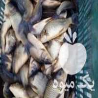 فروش بچه ماهی کپور چینی در سورک