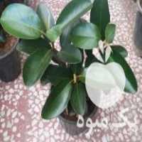 فروش انواع گل های اپارتمانی در نیر
