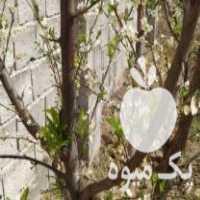 فروش تعداد 60 عدد درخت الو و خرمالو و گلابی قرق هستم در فاضل آباد