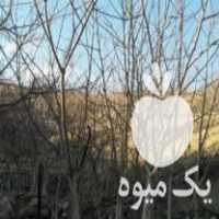 فروش ویژه ای درخت گردو های لواسان در تهران
